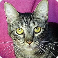 Domestic Shorthair Cat for adoption in Renfrew, Pennsylvania - Caramel
