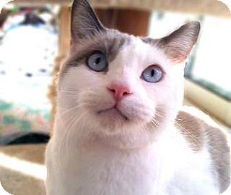 Domestic Shorthair Cat for adoption in Mountain Center, California - Celeste