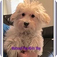 Adopt A Pet :: Litter of Maltese Pups 3 left - Rancho Cucamonga, CA