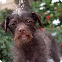 Adopt A Pet :: Pearlie - Encino, CA