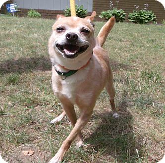 Chihuahua Mix Dog for adoption in Muskegon, Michigan - Lemon