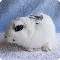 Adopt A Pet :: Thor - Fountain Valley, CA