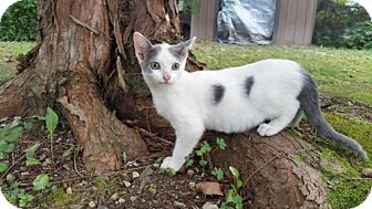 Domestic Shorthair Cat for adoption in Morehead, Kentucky - Dottie YOUNG FEMALE