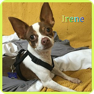 Chihuahua Mix Dog for adoption in Hollywood, Florida - Irene
