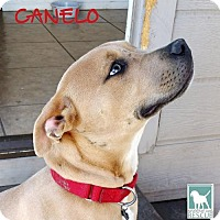 Adopt A Pet :: Canelo - FOSTER or FOREVER - Carlsbad, CA