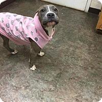 Adopt A Pet :: Lilly - Whitestone, NY