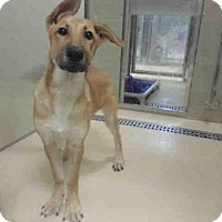 Adopt A Pet :: SNICKERS - Olivette, MO
