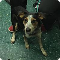 Adopt A Pet :: Abigail - Hopkinton, MA
