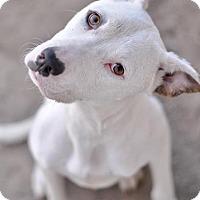 Adopt A Pet :: Smores - Las Vegas, NV