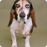 Beagle Mix Dog for adoption in Sudbury, Massachusetts - Donielle