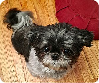 Shih Tzu Dog for adoption in Eden Prairie, Minnesota - PANDA