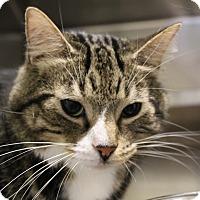Domestic Shorthair Cat for adoption in Sarasota, Florida - Lester
