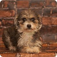 Adopt A Pet :: Victoria - Las Vegas, NV