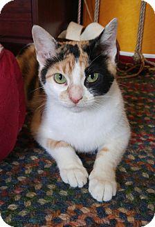 Domestic Shorthair Cat for adoption in Addison, Illinois - Carolina