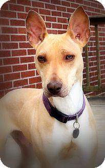 Bull Terrier/Terrier (Unknown Type, Medium) Mix Dog for adoption in Toledo, Ohio - Tawny