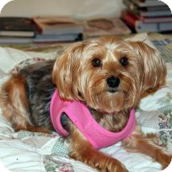 Yorkie, Yorkshire Terrier Dog for adoption in Hardy, Virginia - Kelly