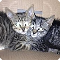 Adopt A Pet :: kittens - Hyde Park, NY