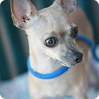 Adopt A Pet :: Cindy - Canoga Park, CA