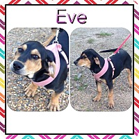 Adopt A Pet :: Eve in CT - Manchester, CT