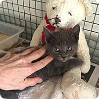 Russian Blue Kitten for adoption in Metairie, Louisiana - Reese