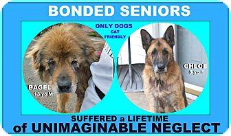 German Shepherd Dog Mix Dog for adoption in Wantagh, New York - Chloe