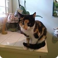 Adopt A Pet :: Bindi - Pasadena, CA