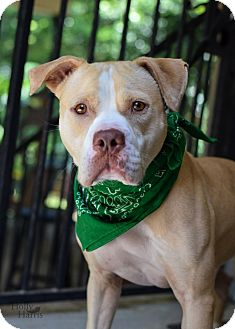 American Pit Bull Terrier Mix Dog for adoption in Baton Rouge, Louisiana - Bruce