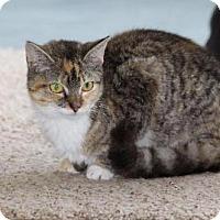 Domestic Shorthair Kitten for adoption in Bardstown, Kentucky - Sierra