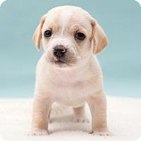 Adopt A Pet :: Nigel - Westfield, NY