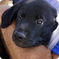 Adopt A Pet :: Steffi Pup - Sampras - Adopted! - San Diego, CA