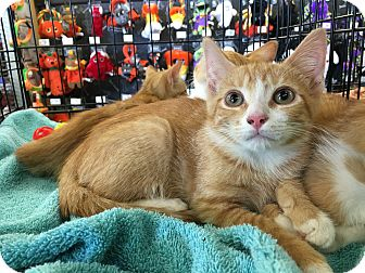 Domestic Shorthair Kitten for adoption in Clarksville, Tennessee - Little Tom