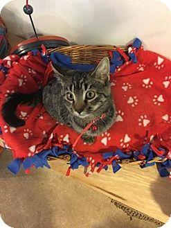 Domestic Shorthair Kitten for adoption in Hanna City, Illinois - Mercury