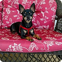 Chihuahua Mix Dog for adoption in Brooksville, Florida - Sarge