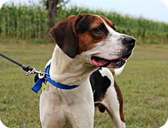 Foxhound Dog for adoption in Dillsburg, Pennsylvania - Gunner