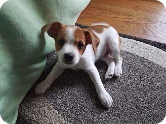 Jack Russell Terrier/Yorkie, Yorkshire Terrier Mix Puppy for adoption in Garden City, Michigan - Studi - Pending Adoption