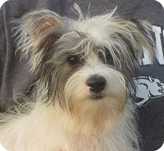 Yorkie, Yorkshire Terrier Puppy for adoption in Greenville, Rhode Island - Luther