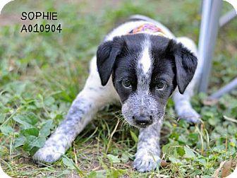 Labrador Retriever Mix Puppy for adoption in Conroe, Texas - Sophie