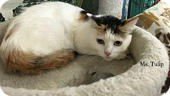 Domestic Shorthair Cat for adoption in Spring Brook, New York - Tulip