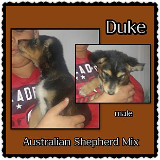Anatolian Shepherd Mix Puppy for adoption in Richmond, California - Duke