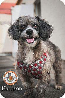 Poodle (Miniature) Mix Dog for adoption in Oceanside, California - Harrison