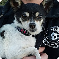 Chihuahua Mix Dog for adoption in San Diego, California - Goober