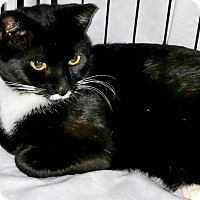 Domestic Shorthair Cat for adoption in Brooklyn, New York - Jacob is Just the Cuddliest