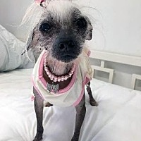 Chinese Crested Dog for adoption in Gilford, New Hampshire - Helen Roper (NY)