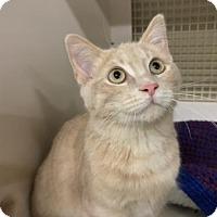 Adopt A Pet :: PIXEL, Come see me at Mechanicsburg Petco - Harrisburg, PA