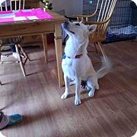 Adopt A Pet :: Stella - Coopersburg, PA