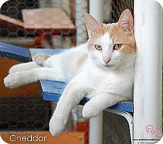 Domestic Shorthair Cat for adoption in St Louis, Missouri - Cheddar