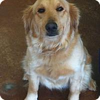 Adopt A Pet :: Haddie - Cheshire, CT