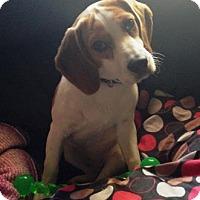 Adopt A Pet :: Koko - Phoenix, AZ