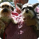 Adopt A Pet :: Bella and Maggie (POM-Wanda)