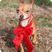 Adopt A Pet :: Chico~ meet me! - Glastonbury, CT